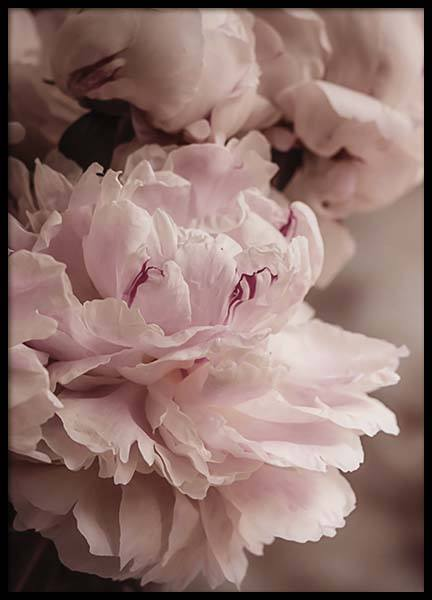 Blooming Peony Affiche dans le groupe Affiches / Photographie chez Desenio AB (10561)