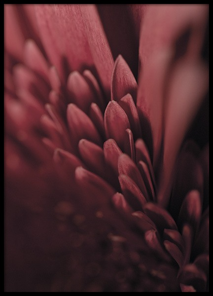 Burgundy Flower Close Up Affiche dans le groupe Affiches / Photographie chez Desenio AB (11188)