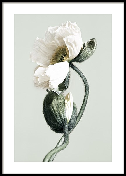 Blooming White Poppies Affiche dans le groupe Affiches / Photographie chez Desenio AB (12321)