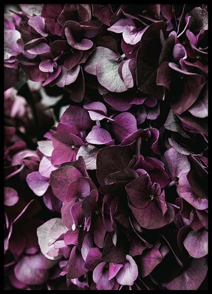 Purple Hydrangea Close Up Affiche dans le groupe Affiches / Photographie chez Desenio AB (2825)