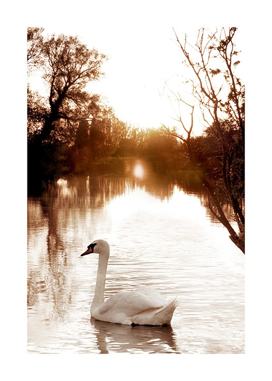 Swan on River Affiche / Photographie chez Desenio AB (11852)