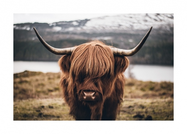 Scottish Highland Cattle Affiche / Insectes et animaux chez Desenio AB (11853)