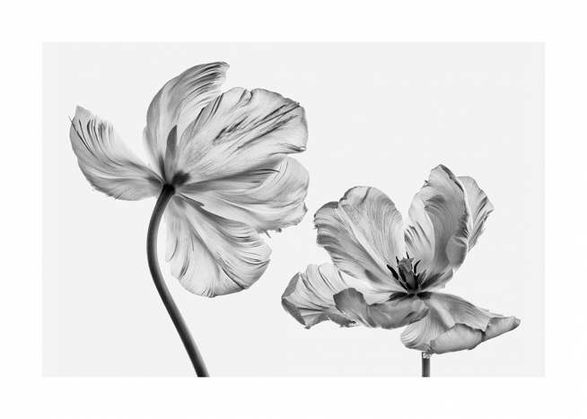 Black and White Tulips Affiche / Fleurs chez Desenio AB (13613)