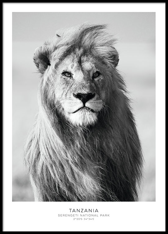 beau poster avec un lion affiches noir et blanc pour compositions murales. Black Bedroom Furniture Sets. Home Design Ideas
